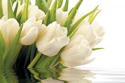 bukiet-bialych-tulipanow-na-sciane