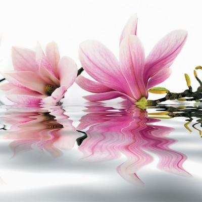 dwie-rozowe-magnolie-w-wodzie