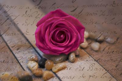 amarantowa-roza
