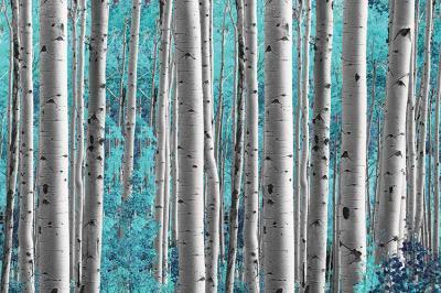 turkusowy-las-brzozowy
