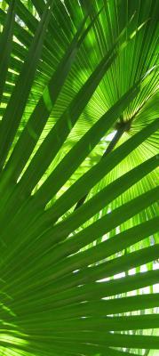 liscie-palmy