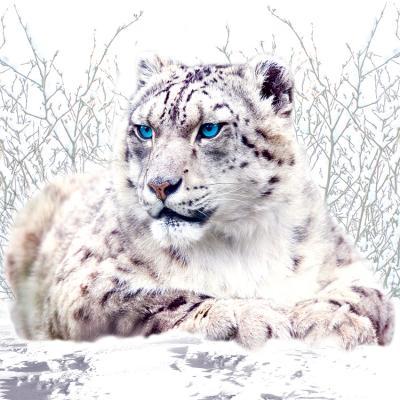 sniezna-pantera