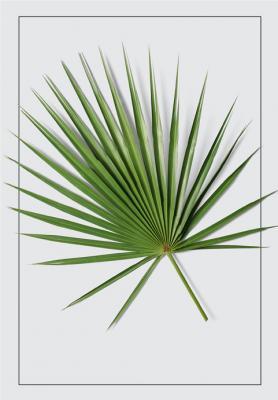 lisc-palmy-wachlarzowej