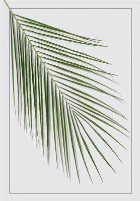 lisc-palmy-daktylowej