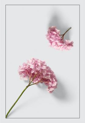 rozowe-hortensje