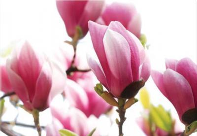 grafika-rozowy-kwiat-magnolii