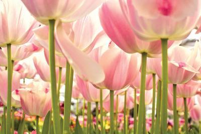 rozowe-tulipany-na-lace