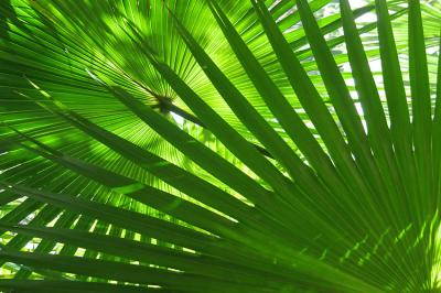 zielone-liscie-palmy